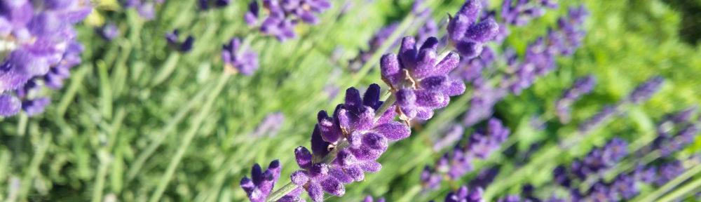 cropped-Lavendel.jpg